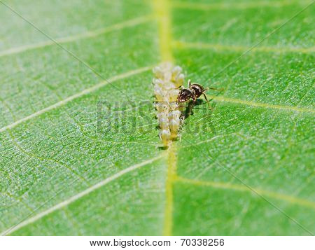 Ant Extracting Honeydew From Aphids Herd On Leaf