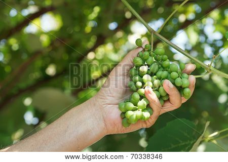 Male Hand Holds Bunch Of Sour Grapes