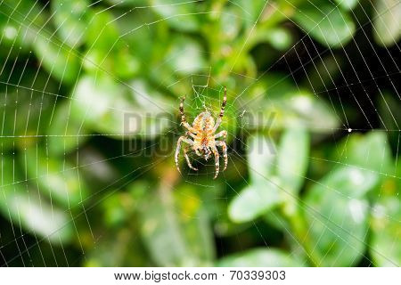 Spider On Cobweb Over Boxwood Leaves