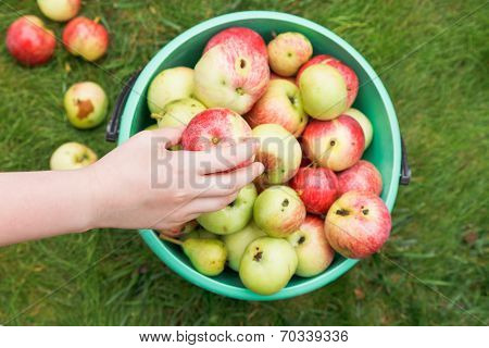 Girl Collects Ripe Apples In Bucket In Orchard