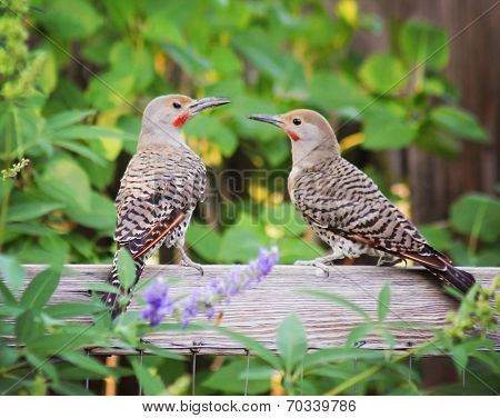 Northern Flickers parent and baby Against a Green Background