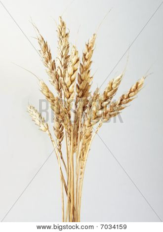 Wheat Stems