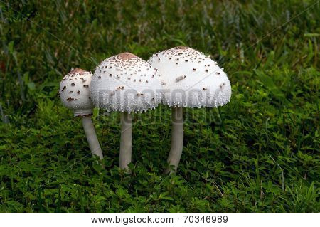 A large mushroom grown on top of grass after a rain