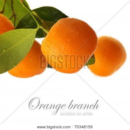 orange branch isolated on white