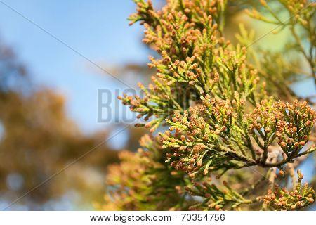 Thuja Branch