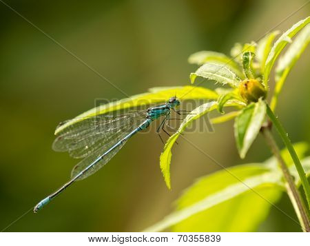 Blue Damselfly On Side Of Flower