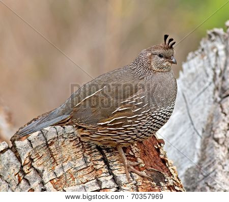 California Quail - female
