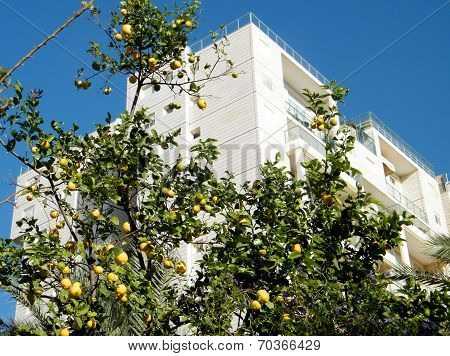 Or Yehuda Lemon Tree On A Background Of The White House 2011
