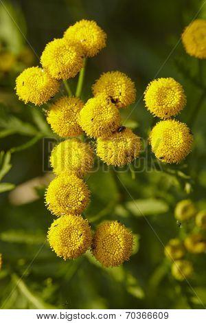 Flora - Tansy