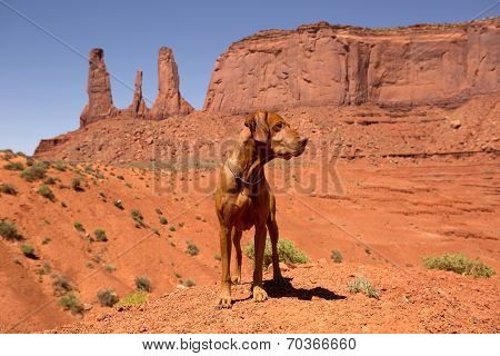 Vizsla Dog Standing In Red Desert