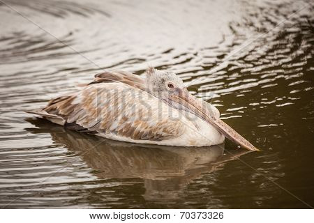A Majestic Dalmatian Pelican