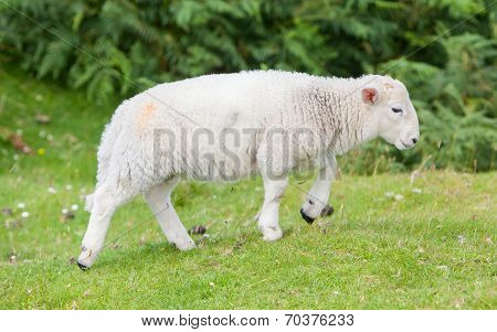 Little Cute Lamb Walking