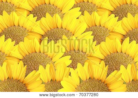 Sunflower For The Nature Background.