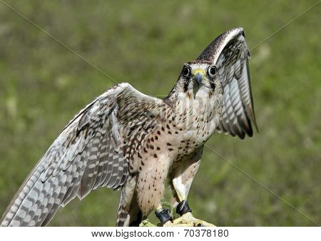 Peregrine Falcon With Outstretched Wings