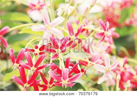 Pink Drunen Sailor Or Rangoon Creeper Flower.