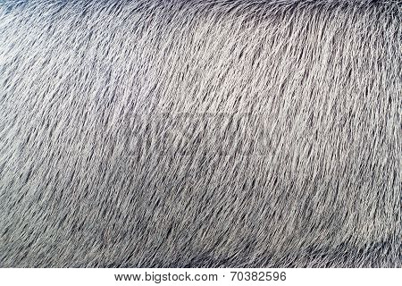 Texture From Fur Of Gray-haired Color