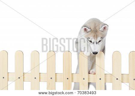 siberian husky inside palisade isolated on white background