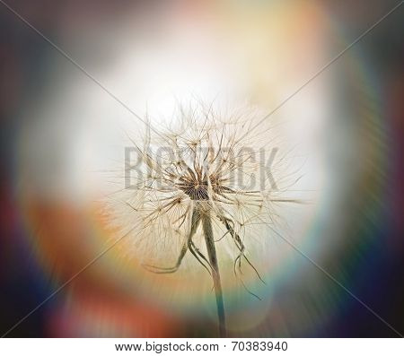 Beautiful dandelion seeds