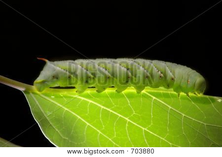 Tobbaco Horn Worm