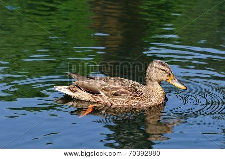 Mallard.The young bird.