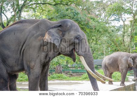 Side view of an adule elephant in a zoo