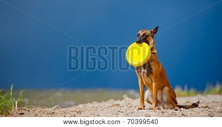 belgian shepherd dog at the sea