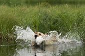 pic of duck-hunting  - Training a Yellow lab for hunting season - JPG