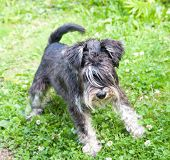 stock photo of schnauzer  - Miniature black and silver schnauzer on the grass