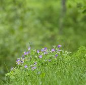 stock photo of geranium  - Wood cranesbill - JPG
