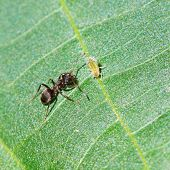pic of walnut-tree  - ant tending one aphid on leaf of walnut tree close up - JPG
