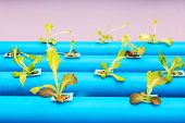 stock photo of hydroponics  - Hydroponic vegetables growing on blue pipe in organic farm - JPG