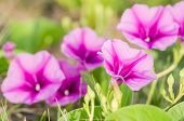 pic of ipomoea  - Morning glory or Convolvulaceae flowers or Bindweed Family in the nature or the garden - JPG