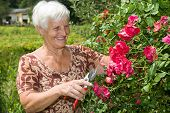 stock photo of hospice  - grandmother cutting pink roses in the garden - JPG