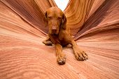 picture of coyote  - golden color pure breed dog laying obediently in Coyote Butte Arizona - JPG
