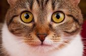 stock photo of yellow tabby  - Portrait of cute tabby with yellow eyes close - JPG