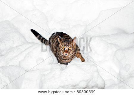 Cute Cat Strollingh Through Snow In Winter