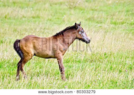 Foal brown on green meadow