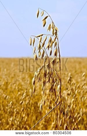 Oats stems on field