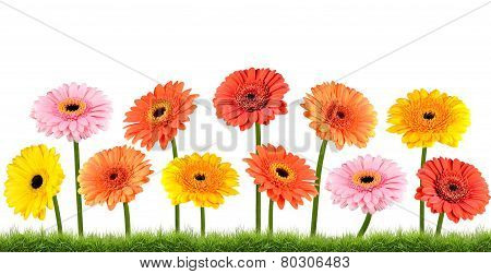 Colorful Marigold Flowers Growing In Grass Isolated On White