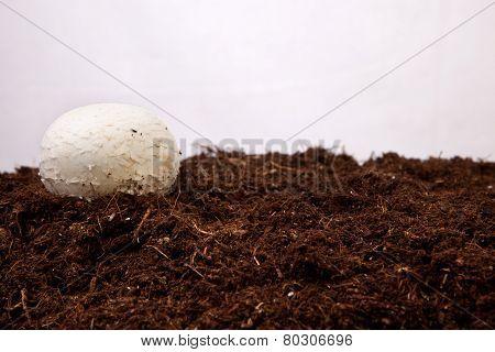 White Mushroom Growing
