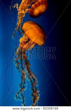 The Orange Pacific Sea Nettle Jellyfish