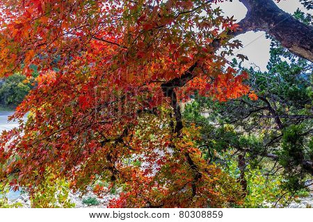 Brilliant Red Foliage on Maple Tree in Lost Maples State Park, Texas.