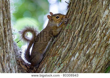 A Cute Pose of an Eastern Gray Squirrel (Sciurus carolinensis)