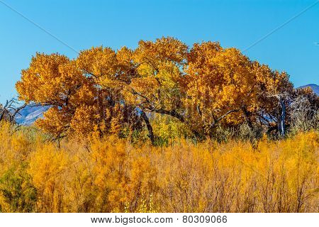 Beautiful Fall Foliage on Cottonwood Trees Along the Rio Grande River in New Mexico.