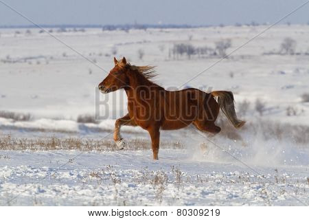 Horse run in snow field