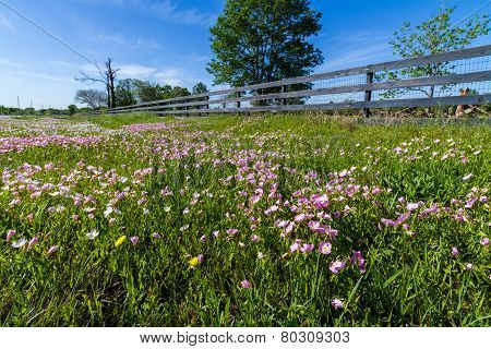 A Meadow Blanketed with Texas Pink Evening or Showy Evening Primrose and Various Other Wildflowers.