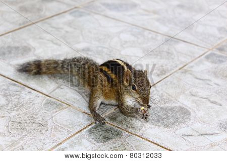 Indian palm squirrel gnaws a nut
