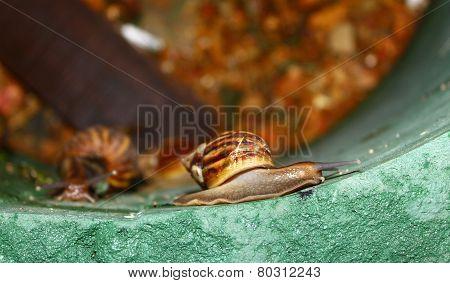 Achatina fulica full size