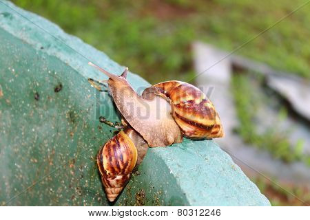 Snail Achatina fulica