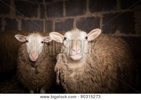 Sheep in the barn